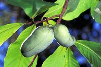 Paw paw (<i>Asimina triloba</i>) fruit