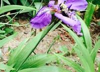 Dwarf native iris (<i>Iris lacustris</i>)with a pollinator