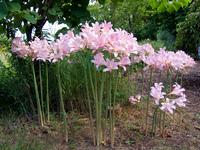 Resurrection lilies (<i>Lycoris squamigera</i>)
