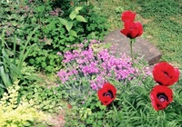 Oriental poppies (<i>Papaver orientale</i>)