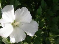 Rose of sharon (<i>Hibiscus syriacus</i>), photo by Jennifer Lauer