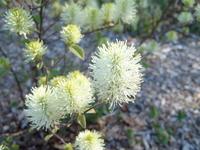 Dwarf fothergilla (<i>Fothergilla gardenii</i>), photo courtesy Wikipedia Commons
