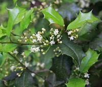 American holly (<i>Ilex opaca</i>), photo courtesy Wikipedia Commons
