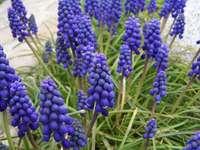 Grape hyacinth (<i>Muscari botryoides</i>), image courtesy Wikipedia Commons