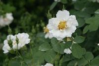 Beach rose (<i>Rosa rugosa</i>), photo courtesy Wikipedia Commons