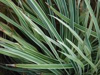 Ice Dance Japanese sedge (<i>Carex</i> Ice Dance)
