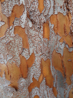 Attractive bark of the Chinese elm (<i>Ulmus parvifolia</i>)