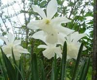 Daffodil (<i>Narcissus</i> sp.)