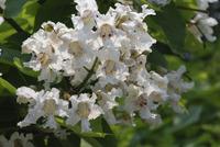 Flowers of the catalpa tree<br>(<i>Catalpa speciosa</i>)