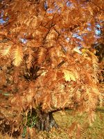 Fall color of dawn redwood<br>(<i>Metasequoia glyptostroboides</i>)