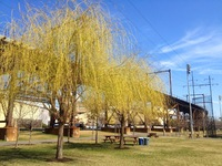 Weeping willow (<i>Salix alba</i>)