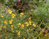 Partridge pea<br>(<i>Chamaecrista fasciculata</i>)