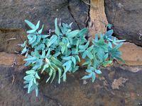 Purple cliffbreak fern<br>(<i>Pellaea atropurpurea</i>)
