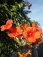 Trumpet Vine (<i>Campsis radicans</i>)
